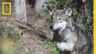 Is It OK to Let These Wolves Go Extinct in the Wild? | National Geographic