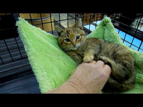 Genie   dm, an adopted Calico & Torbie Mix in Pacific Palisades, CA
