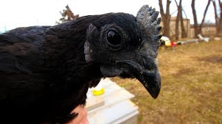 We bought some Rare Chickens to sell Ayam Cemani Hatching Eggs
