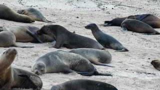 preview picture of video 'Searching Galápagos sea lion pup'