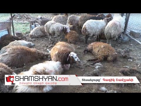 Ոսկեվազ գյուղում գայլերը հոշոտել են սոցիալապես անապահով ամուսինների 25-ից ավելի մայրացու ոչխարներին