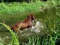 Chesapeake Bay Retriever - Chesapeake bay retriever