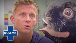 Dr Scott Miller Removes HUGE Overgrown Teeth From Rabbit   Full Episode   Bondi Vet Digital
