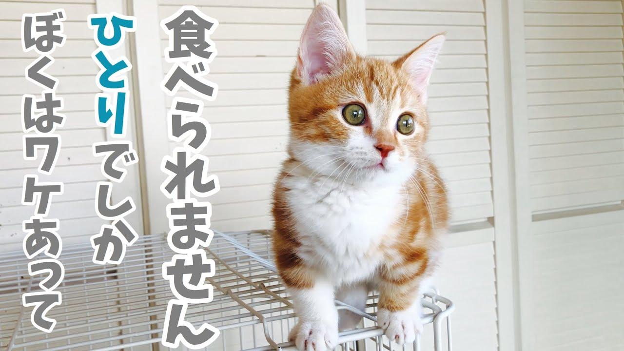 理由あって1人でしかご飯が食べれない子猫がちょっと切ない。Kitten can't eat other cats for a reason