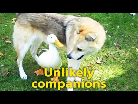 Duck & Dog Are Best Friends - Beautiful Relationship Between An Unlikely Couple
