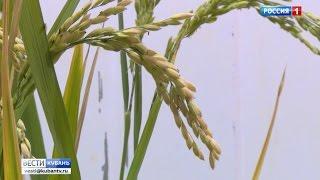 На Кубани собирают самый увесистый урожай российского риса