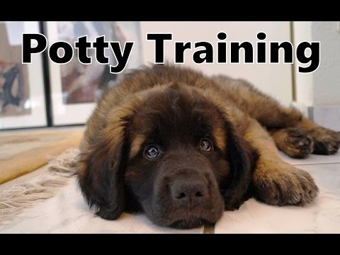 Download How To Potty Train A Leonberger Puppy - Leonberger House Training - Housebreaking Leonberger Puppies Mp4 HD Video and MP3