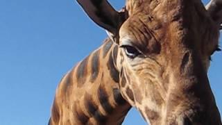 Feeding the giraffe at Monarto Zoo, South Australia