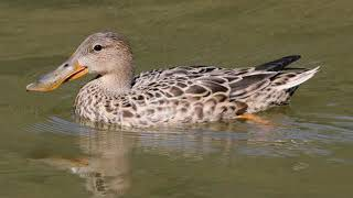 Животные Ростовской области: утка широконоска