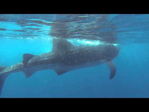 Isla Holbox: Swim with the Whale Sharks!