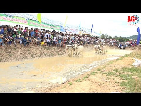 Tưng bừng Hội đua bò Bảy Núi
