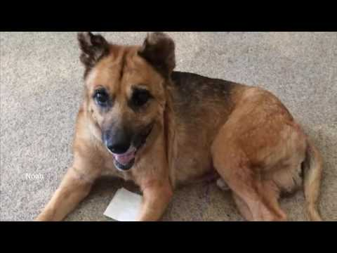 Coastal German Shepherd Rescue of Southern California