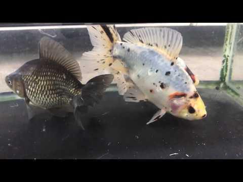 江戸地金 志村産 金魚と遊ぶ.com