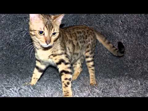 GORGEOUS 🐯🐯BENGAL Cats🐾july 8/2015