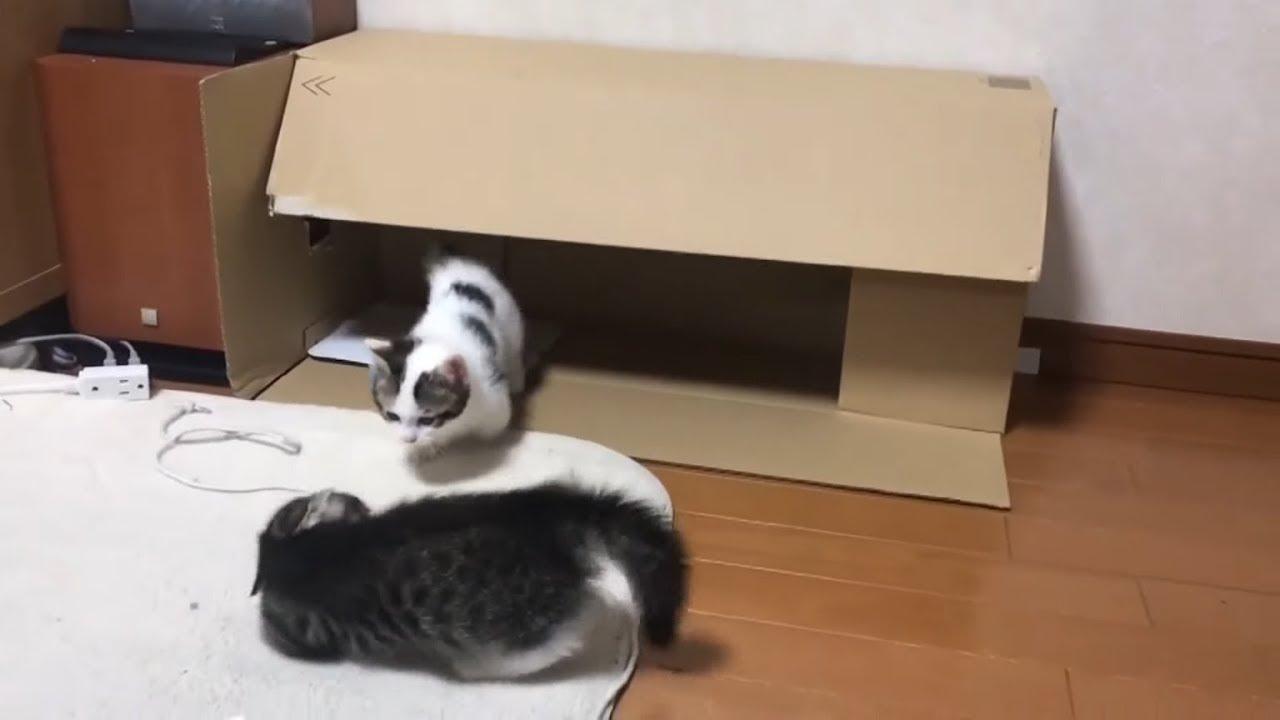 赤ちゃん猫の時から届かない猫パンチの応酬がかわいい