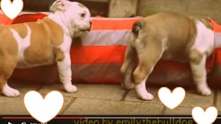 Cute Bulldog Puppies Have Fun - Funny Baby Bulldogs Playing In Tunnel