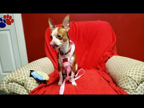 ALVIN, an adopted Chihuahua Mix in Phoenix, AZ