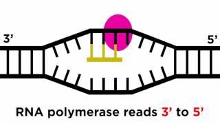 Transkripsi Dan Terjemahan: Dari DNA Untuk Protein