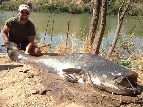 Pesca de Siluros en el río Ebro 2016 - Día II - (Siluro 2,22 metros)
