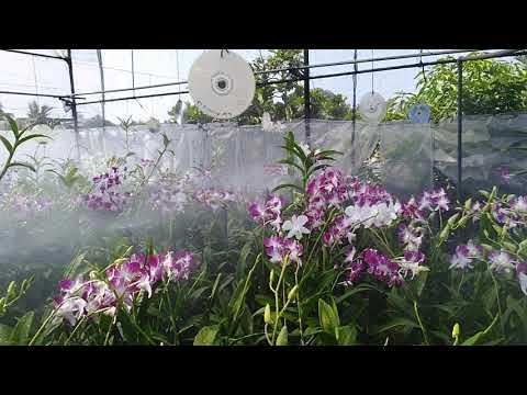 , title : 'Sonia Bicolour & White Colour Orchid Flowers To Sale | ඕකිඩ් මල් විකිණීමට ඇත