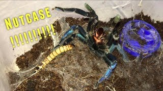 Tarantula Feeding Video #25 ~ Crazy Cobalt Blue !!!