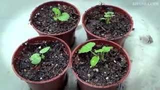 Выращивание герани из семян видео