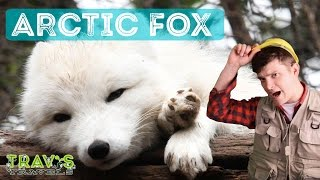 Animal Facts: Arctic Fox