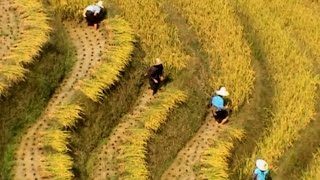 preview picture of video 'Dazhai (大寨) Fall Harvest - 2005 (China Works Series)'