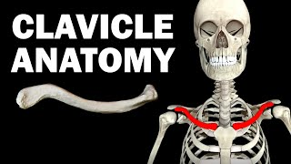 ANATOMY OF THE CLAVICLE (COLLARBONE)