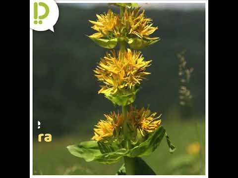 La Gentiane, plante mythique du Haut-Doubs