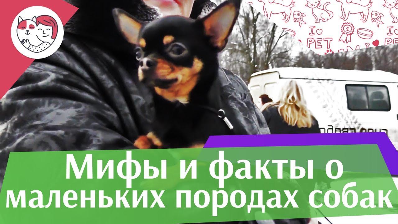 5 самых популярных мифов о маленьких породах собак на ilikepet