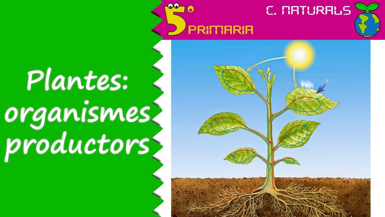 Plantes: organismes productors. Naturals, 5é Primària. Tema 6