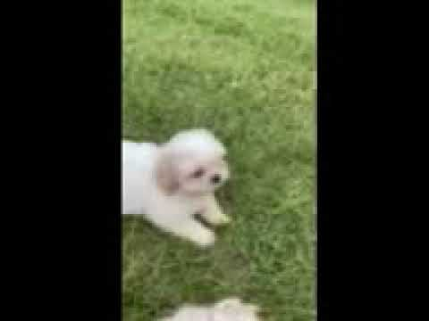 Mr Jimmy - Shih Tzu puppy for sale