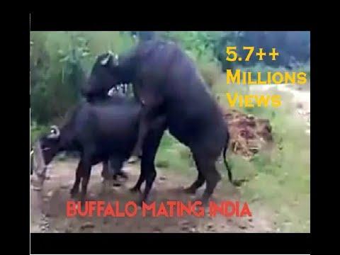 buffalo mating.3gp