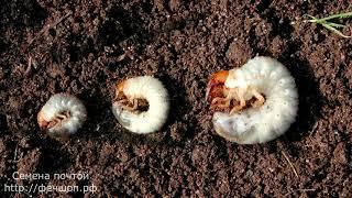 Личинки майских жуков для рыбалки