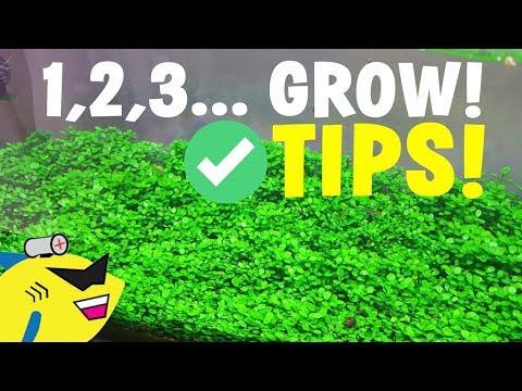 AQUARIUM CARPET PLANT TIPS: 1, 2, 3… GROW!