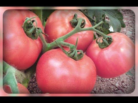 Низкорослые крупные томаты. Что надо для супер урожая