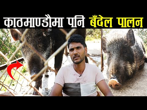 अब काठमाण्डौमा पनि बँदेल पालन - यस्ता छन् यसका कानुनि प्रक्रियाहरु - Wild boar farming in Nepal