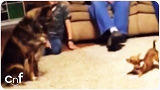 3 cachorros brincam na sala, mas a reação do menor chama a atenção de todos