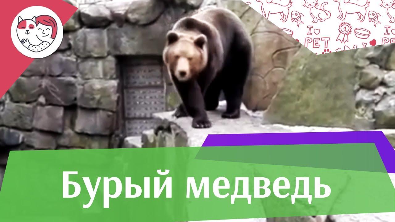 Бурый медведь Шатун на ilikepet