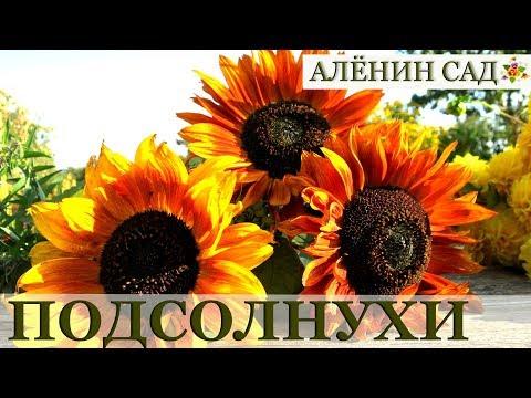 Как вырастить подсолнухи / Sunflowers 🌻