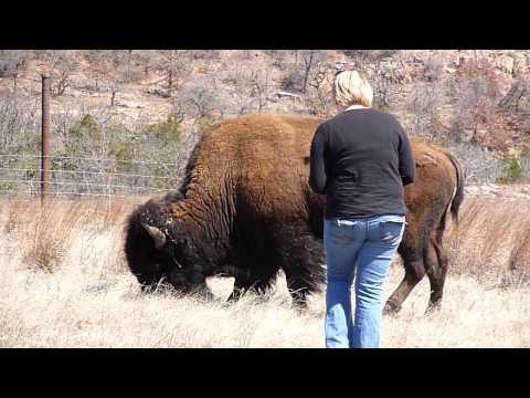 Karmienie bizona