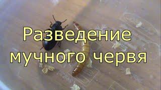 Кто клюет на мучного червя