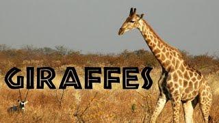 GiraffesforKids:LearnaboutGiraffes-FreeSchool 動画キャプチャー