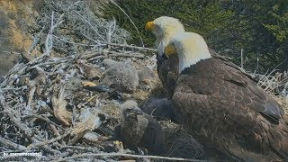 Earthquake California 5.3 Caught Live On Bald Eagle Nest Cam Sauces Canyon Channel Islands 4.5.18