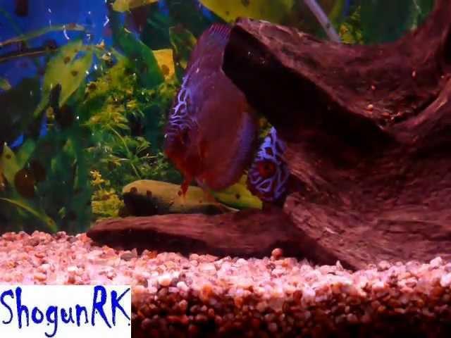 Discus fish (Disco Turquesa Azul) coridoras aeneus Tetra Neon cardenal 1