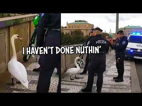 Zatčení labutě v Praze