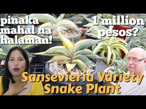 PINAKAMAHAL NA HALAMAN NA NATAGPUAN KO   VARIETIES OF SANSEVIERIA SNAKE PLANT   BAKIT ANG MAHAL?