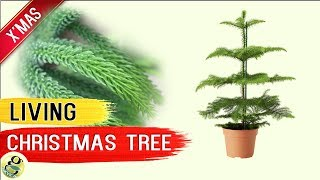 LIVING CHRISTMAS TREE - Norfolk Island Pine Tree - Living Xmas Tree Care Tips after Holidays