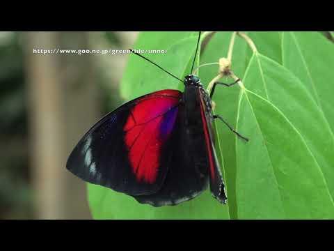 ベアタミイロタテハとクラウディーナミイロタテハの雑種の飛翔 Agrias beatifica X Agrias claudina